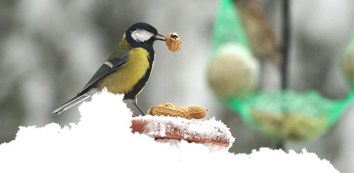 Peanuts are a great source of fat and calories for birds during the wintertime.